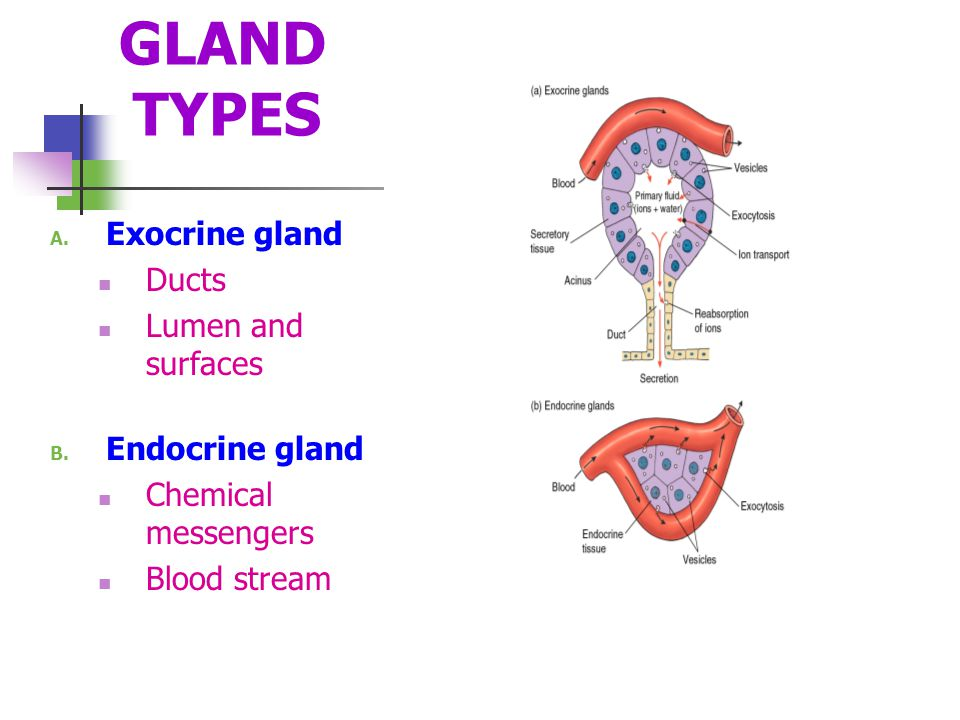GLAND TYPES Exocrine gland Ducts Lumen and surfaces Endocrine gland