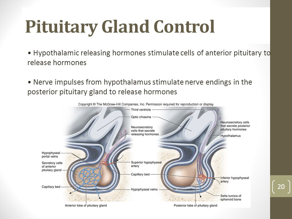 Pituitary Gland Control