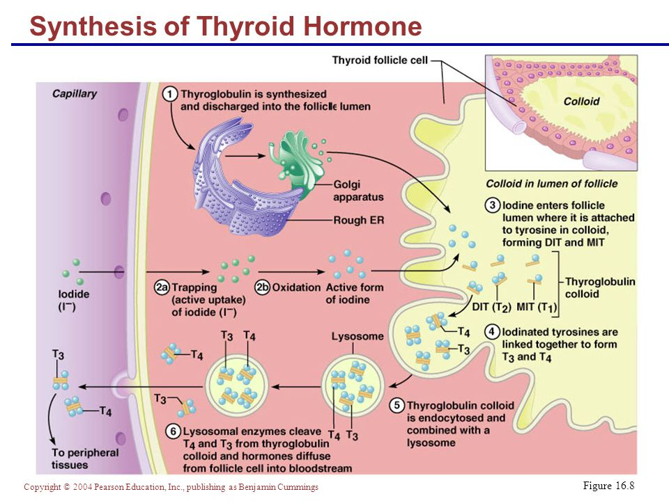 Synthesis of Thyroid Hormone