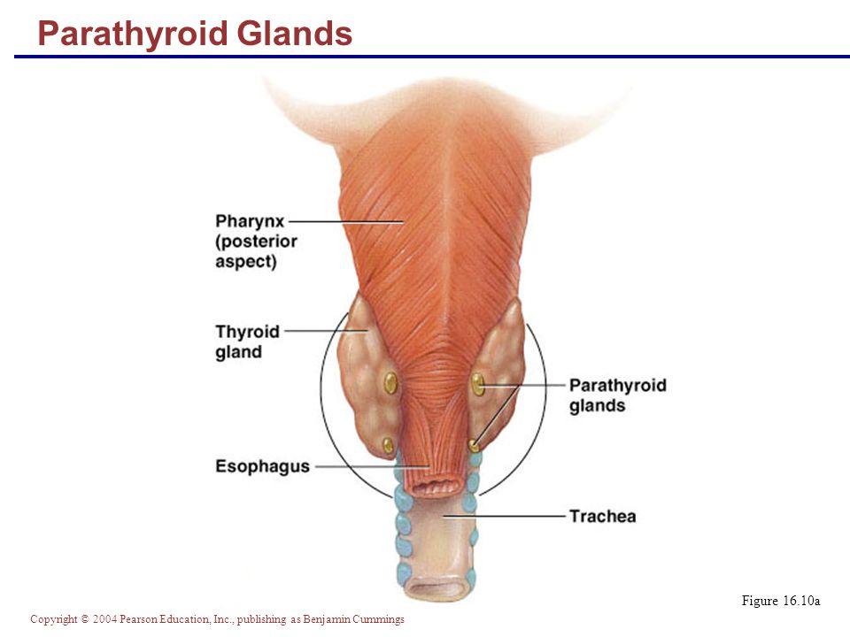 Parathyroid Glands Figure 16.10a