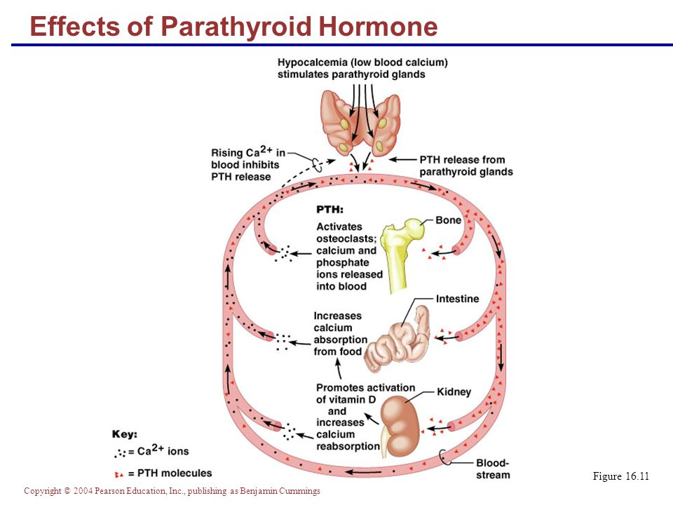 Effects of Parathyroid Hormone