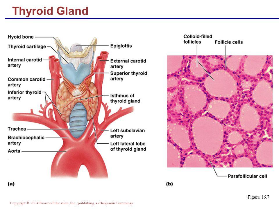Thyroid Gland Figure 16.7