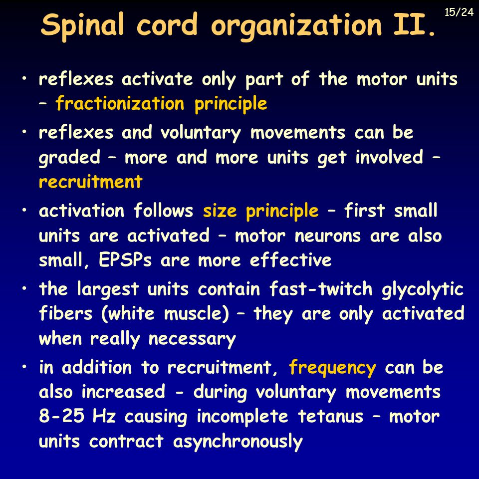 Spinal cord organization II.