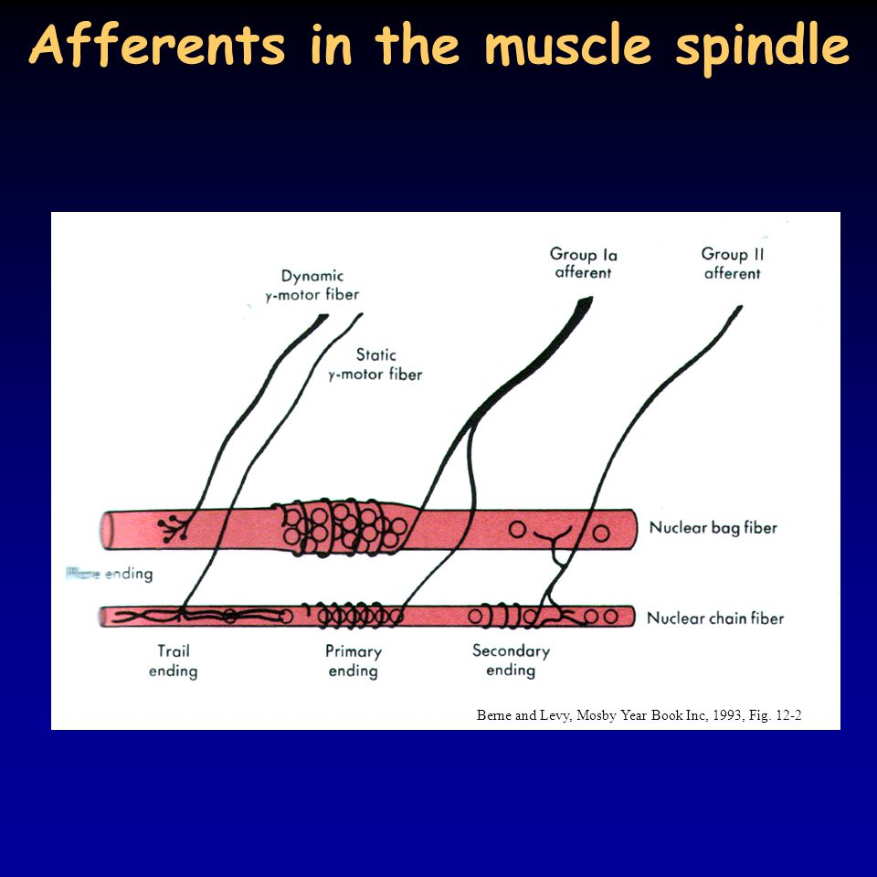Afferents in the muscle spindle