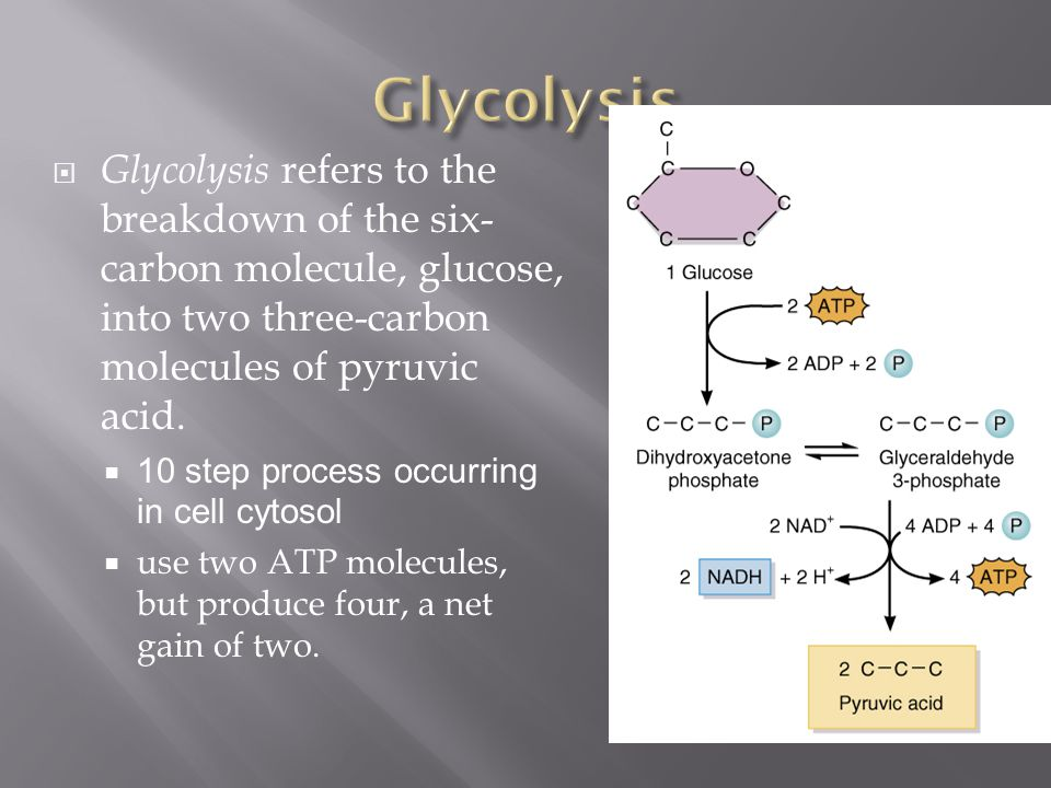 Glycolysis Glycolysis refers to the breakdown of the six-carbon molecule, glucose, into two three-carbon molecules of pyruvic acid.