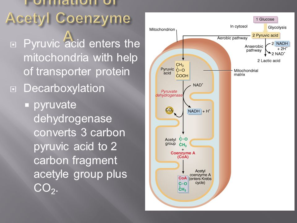 Formation of Acetyl Coenzyme A