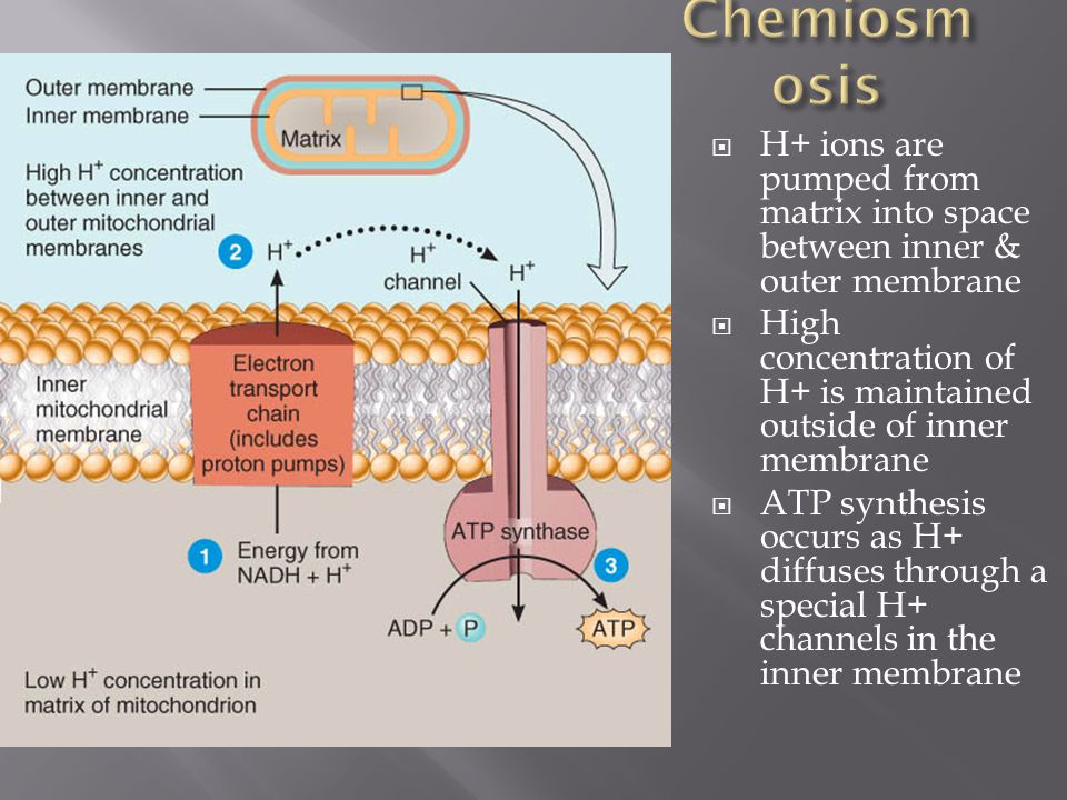 Chemiosmosis H+ ions are pumped from matrix into space between inner & outer membrane.