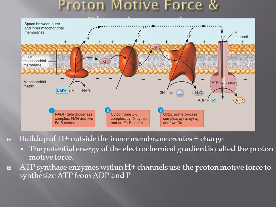 Proton Motive Force & Chemiosmosis