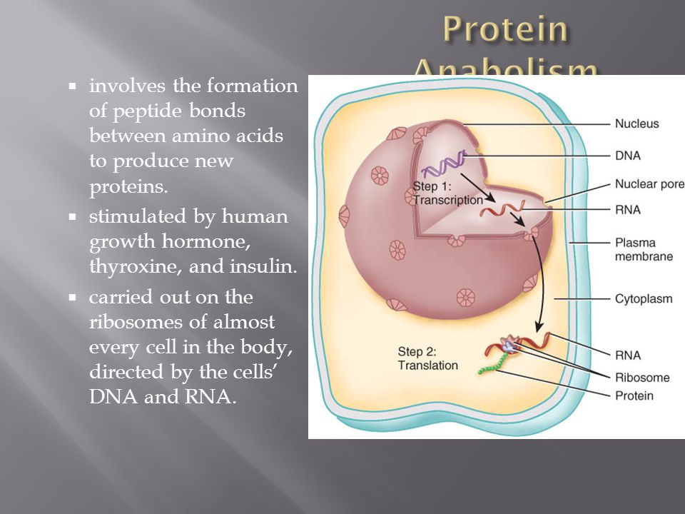 Protein Anabolism involves the formation of peptide bonds between amino acids to produce new proteins.