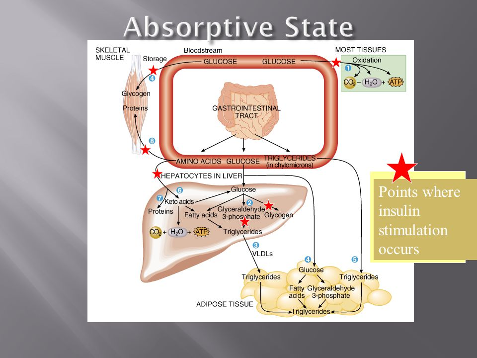 Absorptive State Points where insulin stimulation occurs.