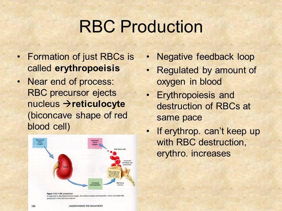 RBC Production Formation of just RBCs is called erythropoeisis
