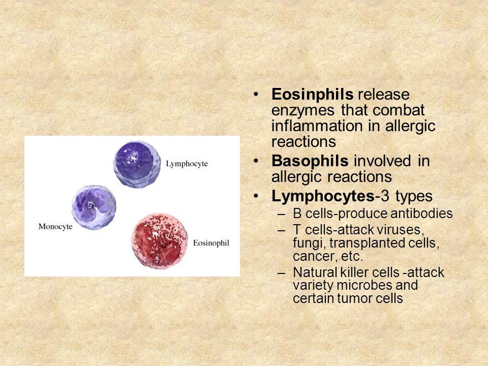 Basophils involved in allergic reactions Lymphocytes-3 types