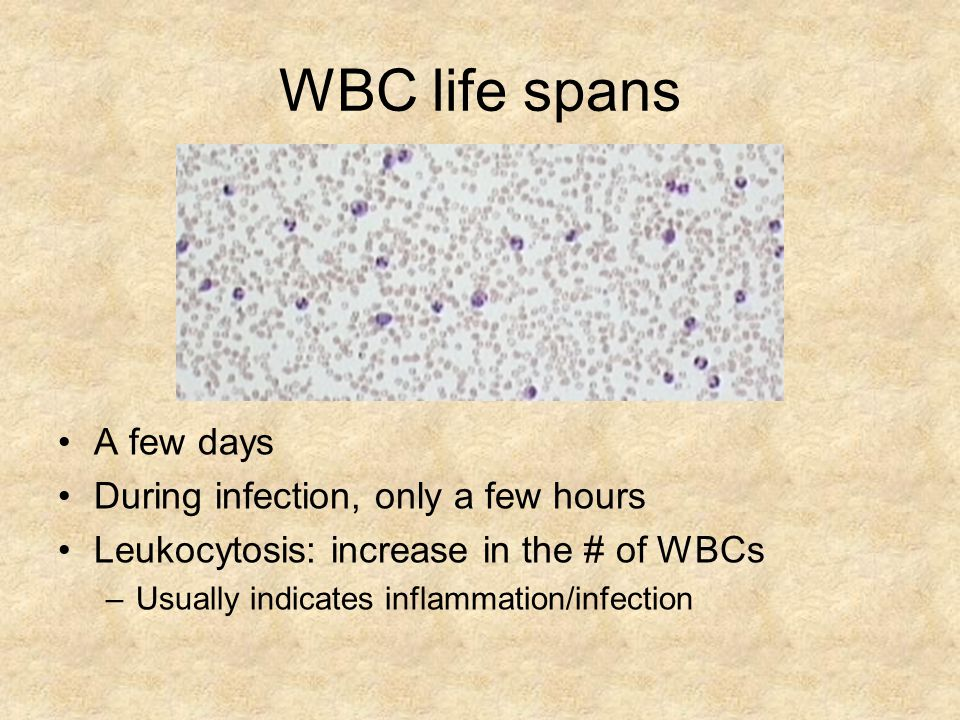WBC life spans A few days During infection, only a few hours