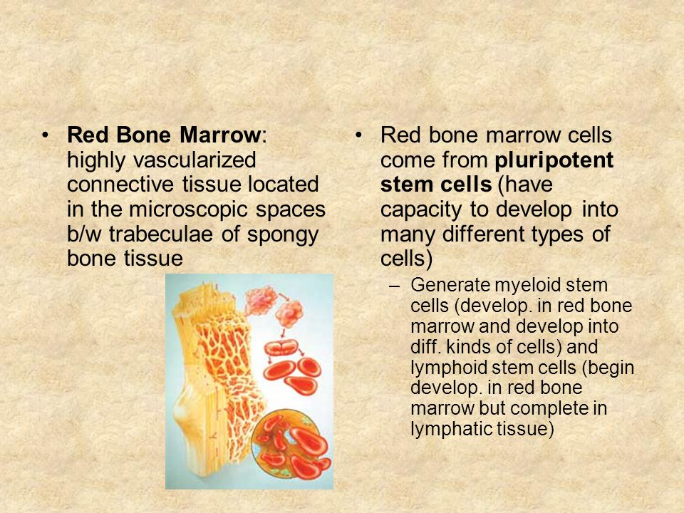 Red Bone Marrow: highly vascularized connective tissue located in the microscopic spaces b/w trabeculae of spongy bone tissue