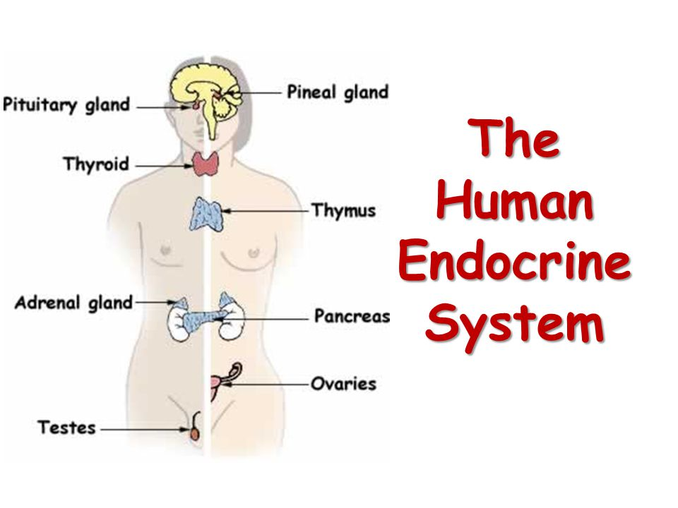 The Human Endocrine System
