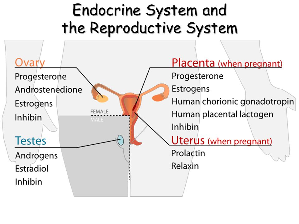 Endocrine System and the Reproductive System