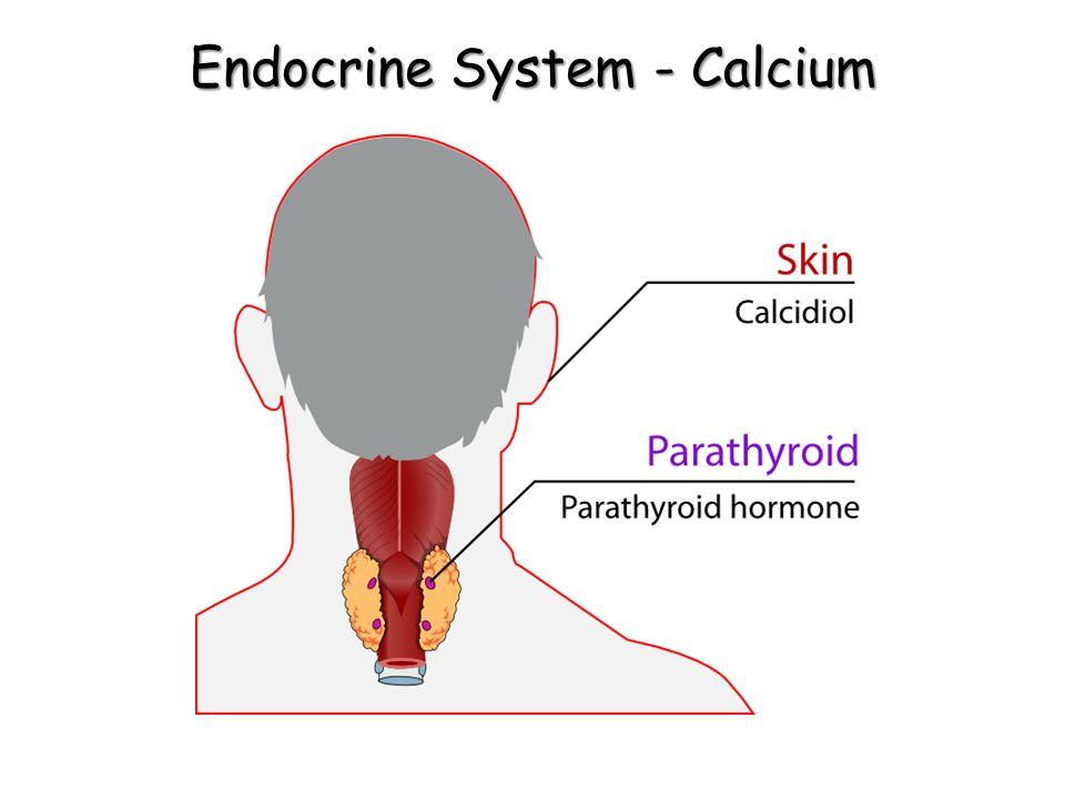 Endocrine System - Calcium
