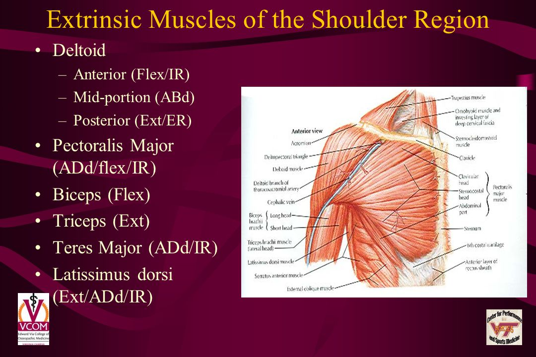 Extrinsic Muscles of the Shoulder Region