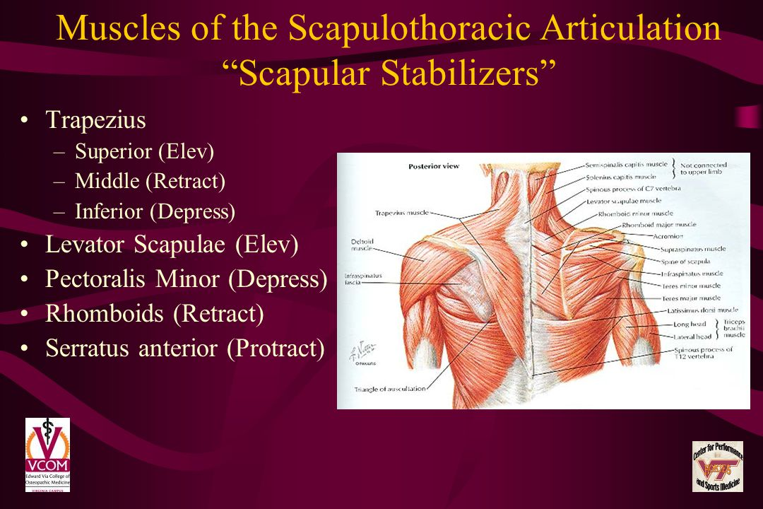 Muscles of the Scapulothoracic Articulation Scapular Stabilizers