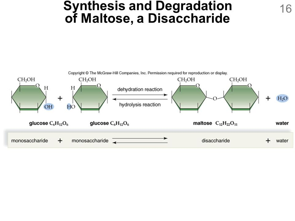 Synthesis and Degradation of Maltose, a Disaccharide