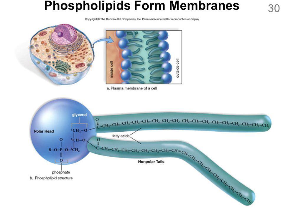 Phospholipids Form Membranes