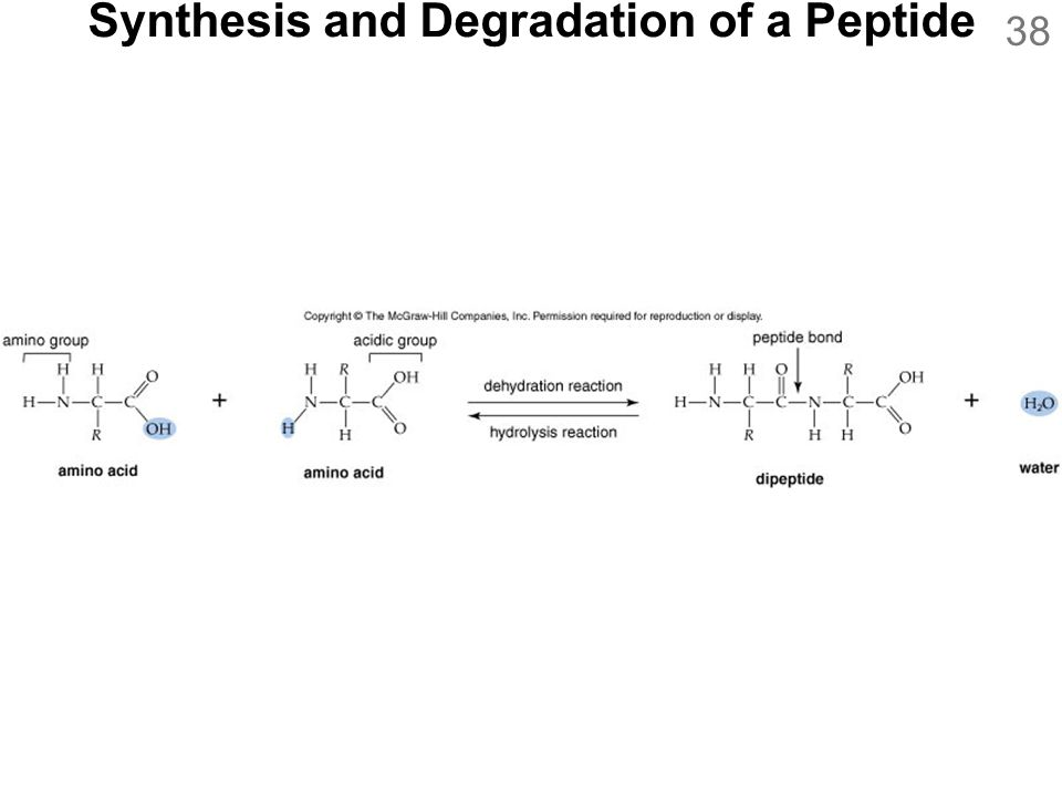 Synthesis and Degradation of a Peptide