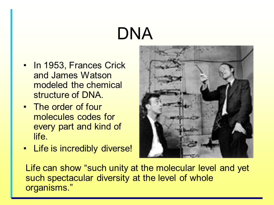 DNA In 1953, Frances Crick and James Watson modeled the chemical structure of DNA.