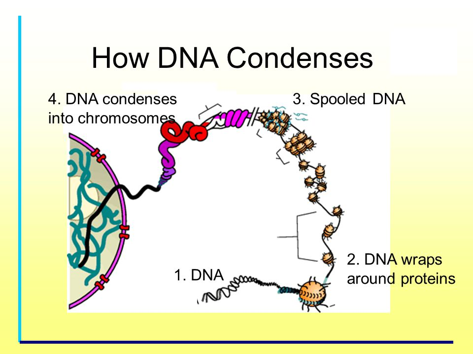 How DNA Condenses 4. DNA condenses into chromosomes 3. Spooled DNA