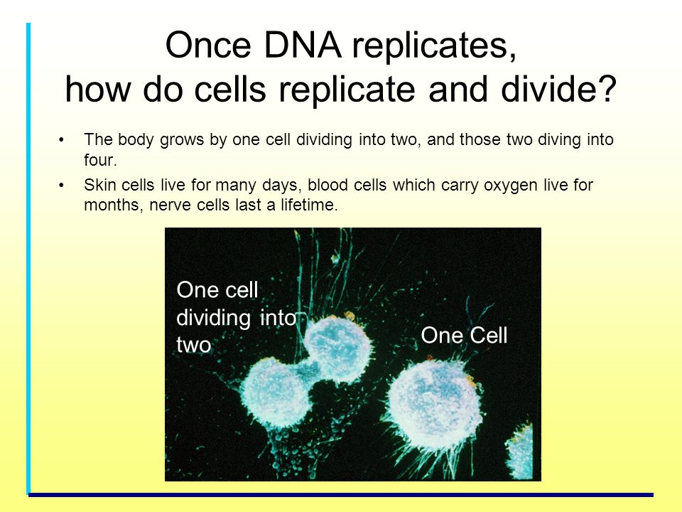 Once DNA replicates, how do cells replicate and divide