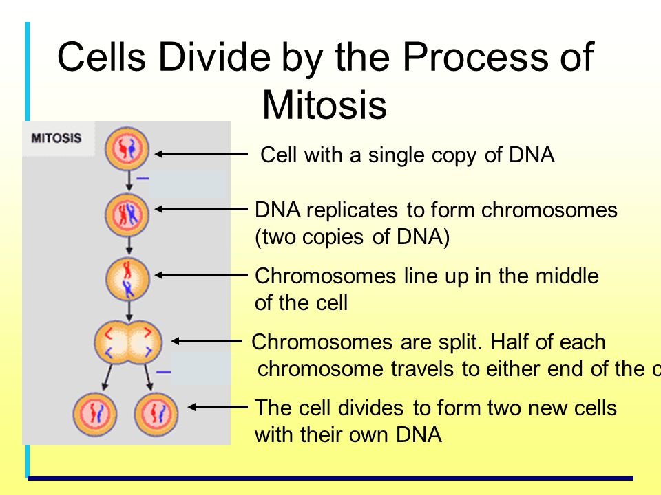 Cells Divide by the Process of Mitosis