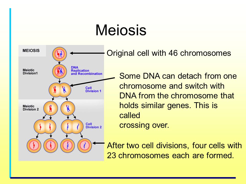 Meiosis Original cell with 46 chromosomes