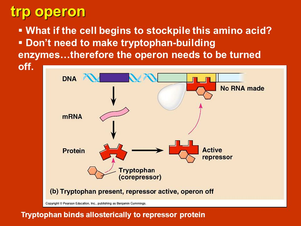 trp operon What if the cell begins to stockpile this amino acid