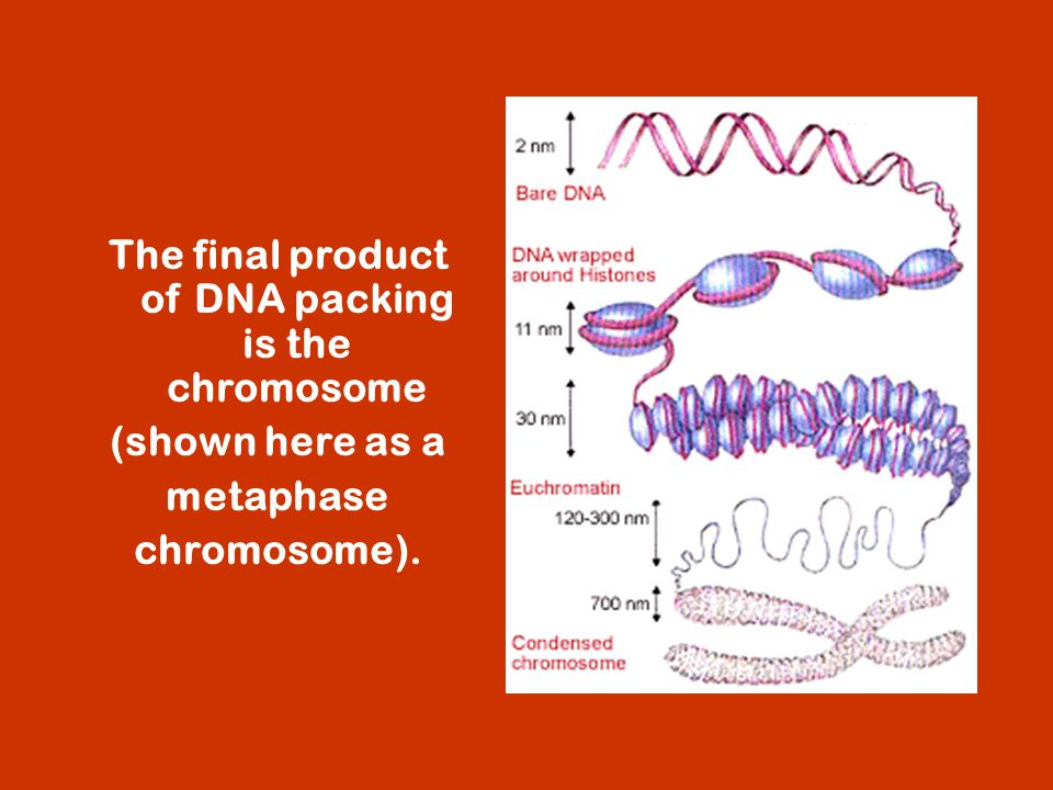 The final product of DNA packing is the chromosome