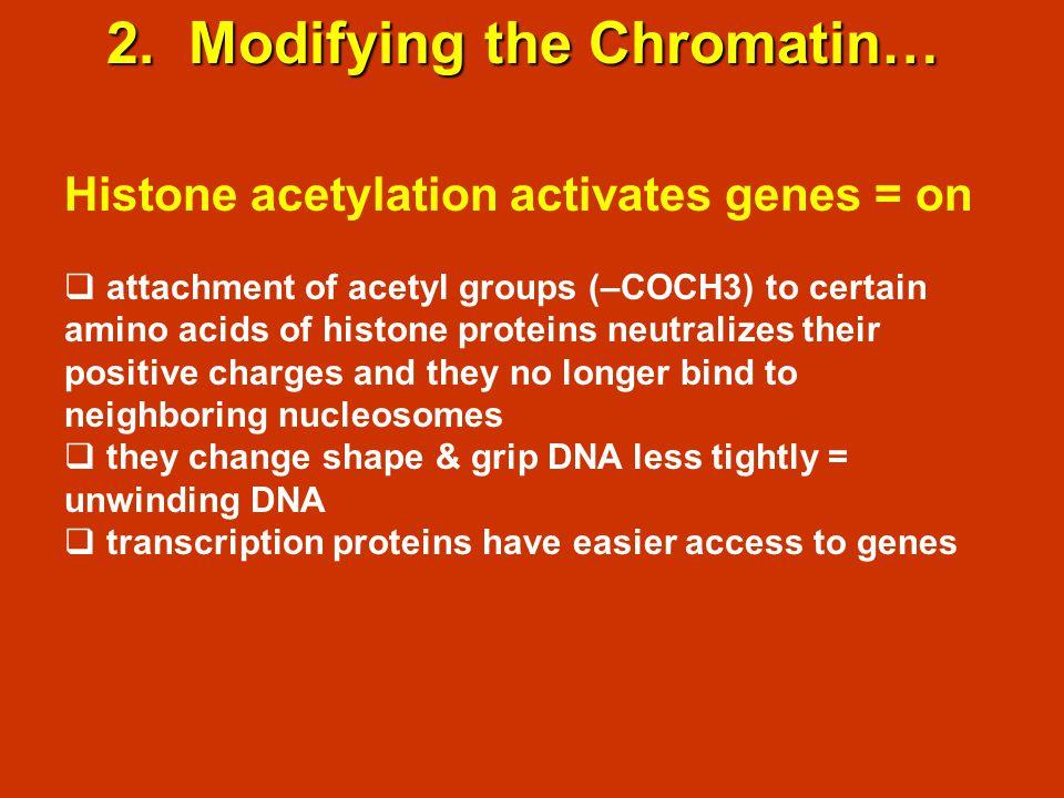 2. Modifying the Chromatin… Histone acetylation activates genes = on