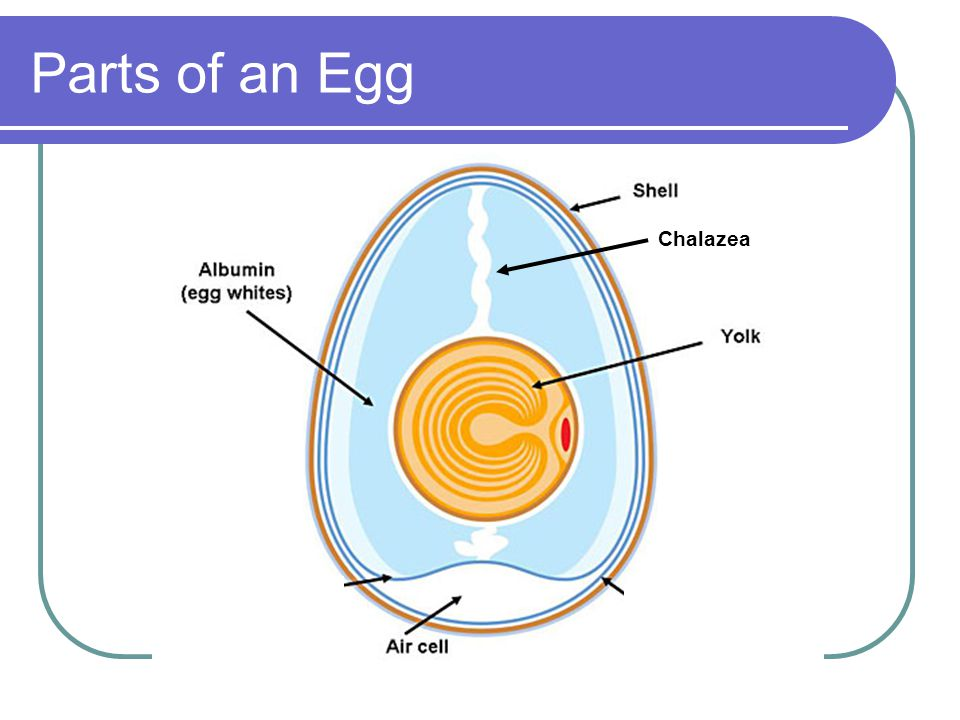 Parts of an Egg Chalazea