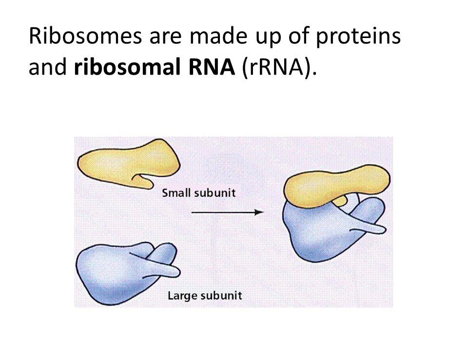 Ribosomes are made up of proteins and ribosomal RNA (rRNA).
