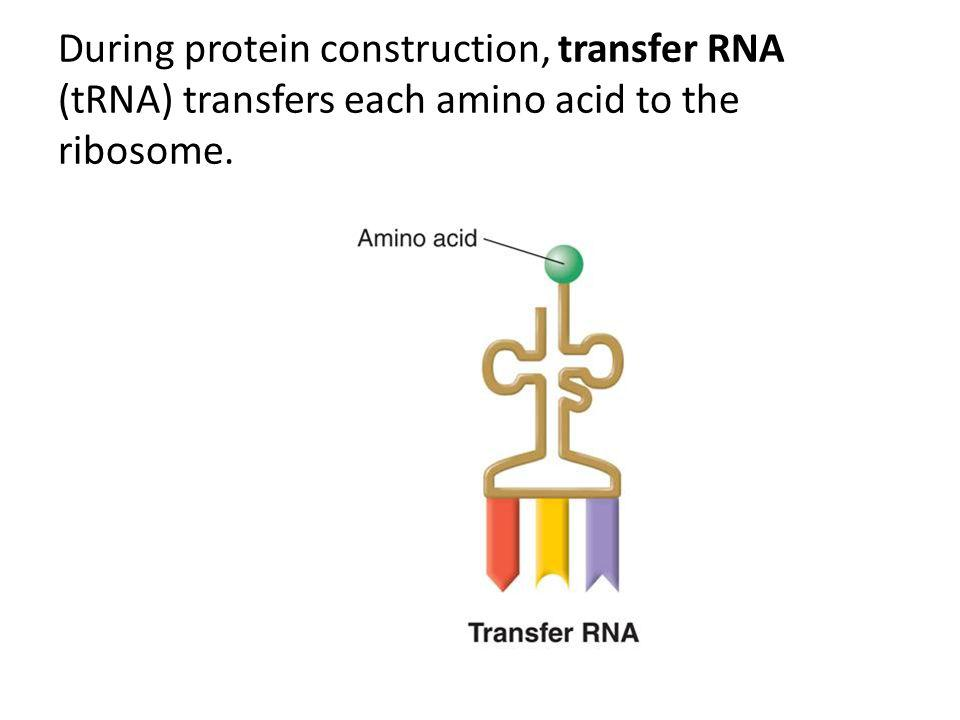 During protein construction, transfer RNA (tRNA) transfers each amino acid to the ribosome.