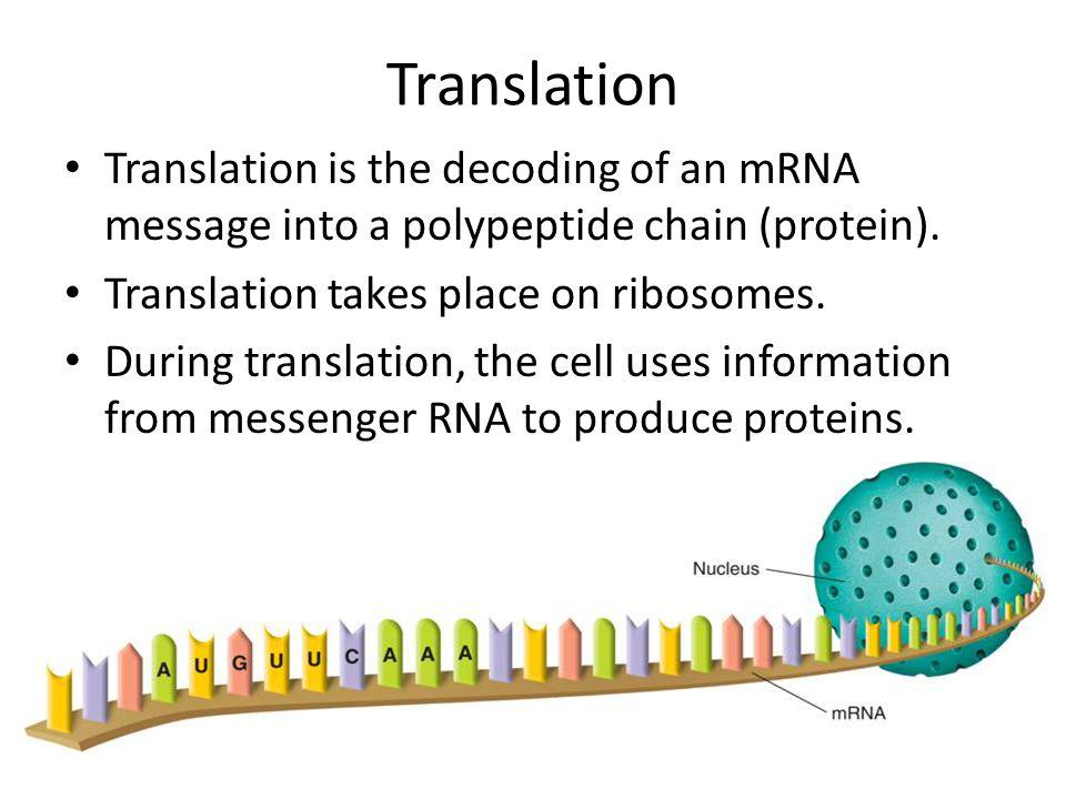 Translation Translation is the decoding of an mRNA message into a polypeptide chain (protein). Translation takes place on ribosomes.