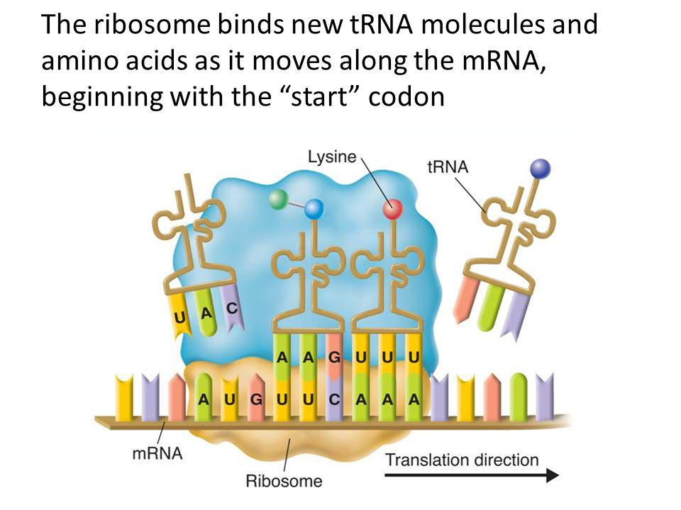 The ribosome binds new tRNA molecules and amino acids as it moves along the mRNA, beginning with the start codon