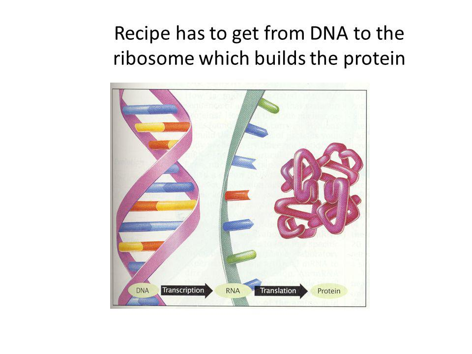 Recipe has to get from DNA to the ribosome which builds the protein