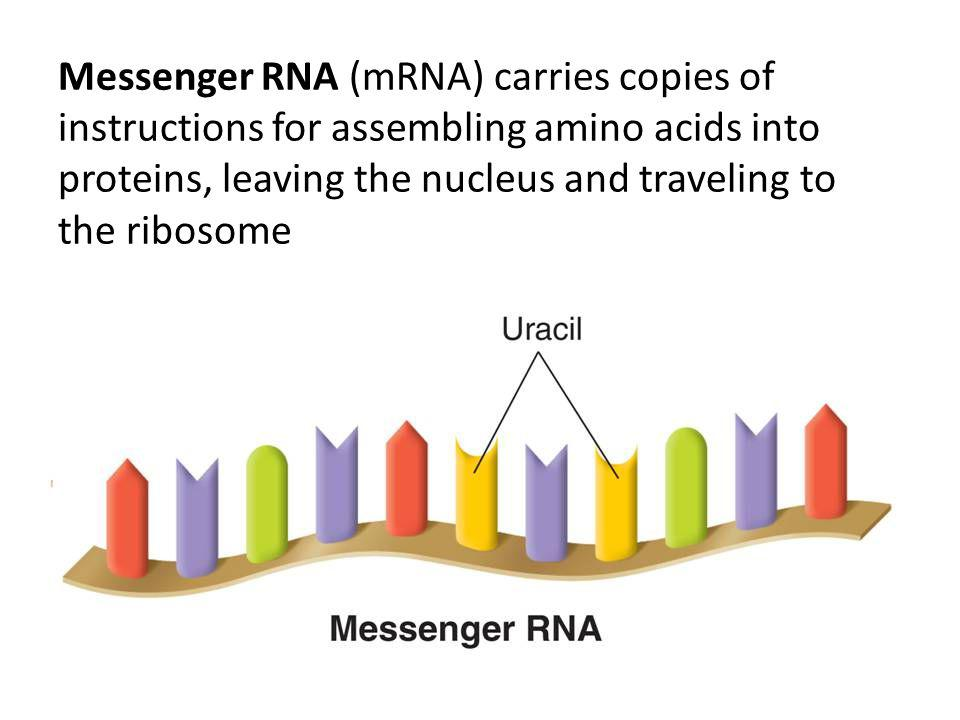 Messenger RNA (mRNA) carries copies of instructions for assembling amino acids into proteins, leaving the nucleus and traveling to the ribosome