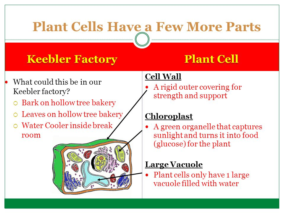 Plant Cells Have a Few More Parts