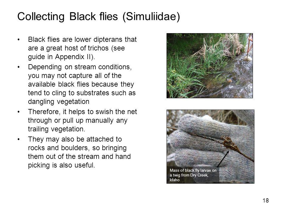 Collecting Black flies (Simuliidae)