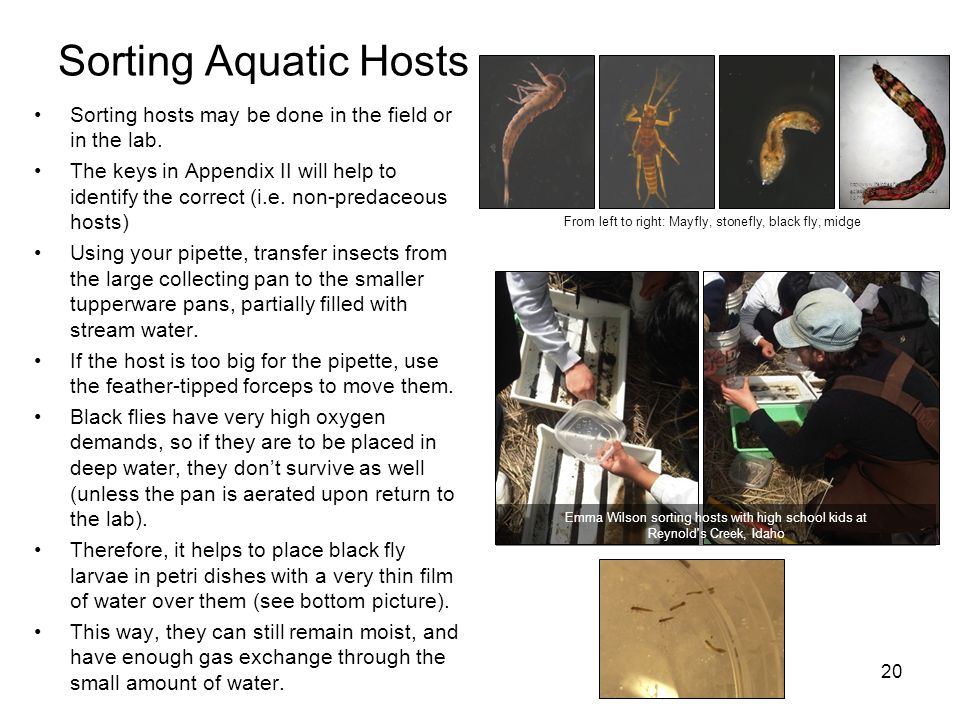 Sorting Aquatic Hosts http://www.lifeinfreshwater.org.uk/Species%20Pages/Midge_Chironomus.jpg.html.
