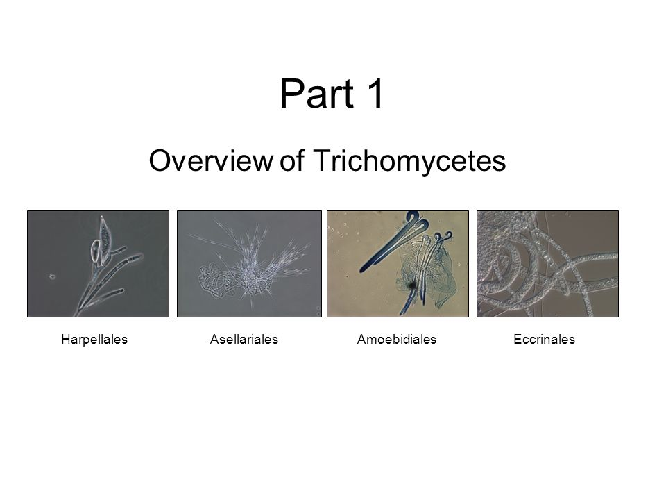 Overview of Trichomycetes