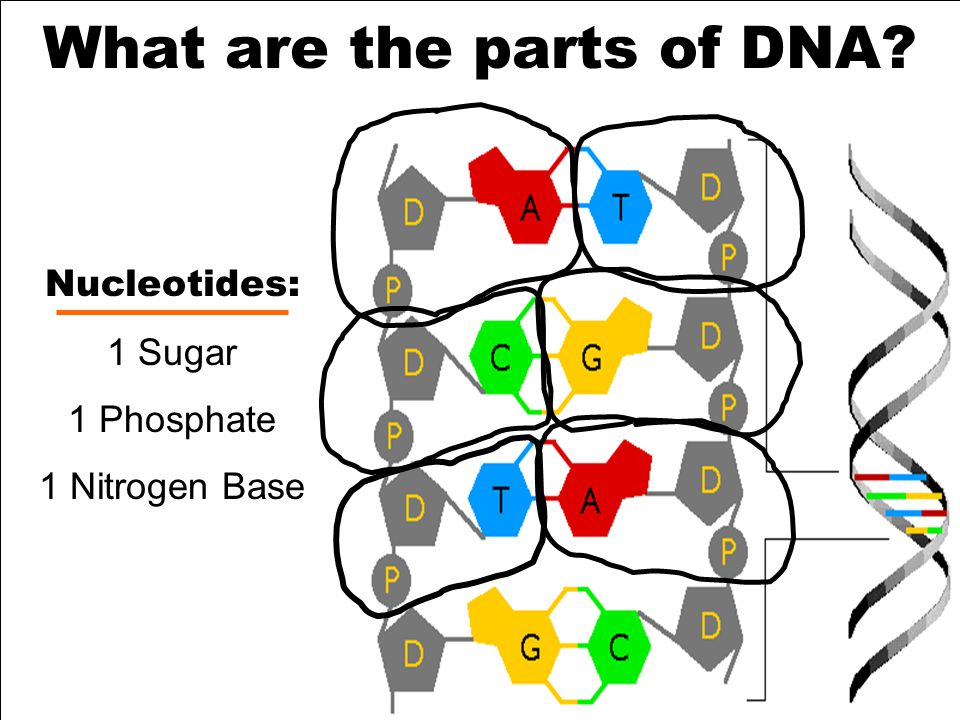 What are the parts of DNA