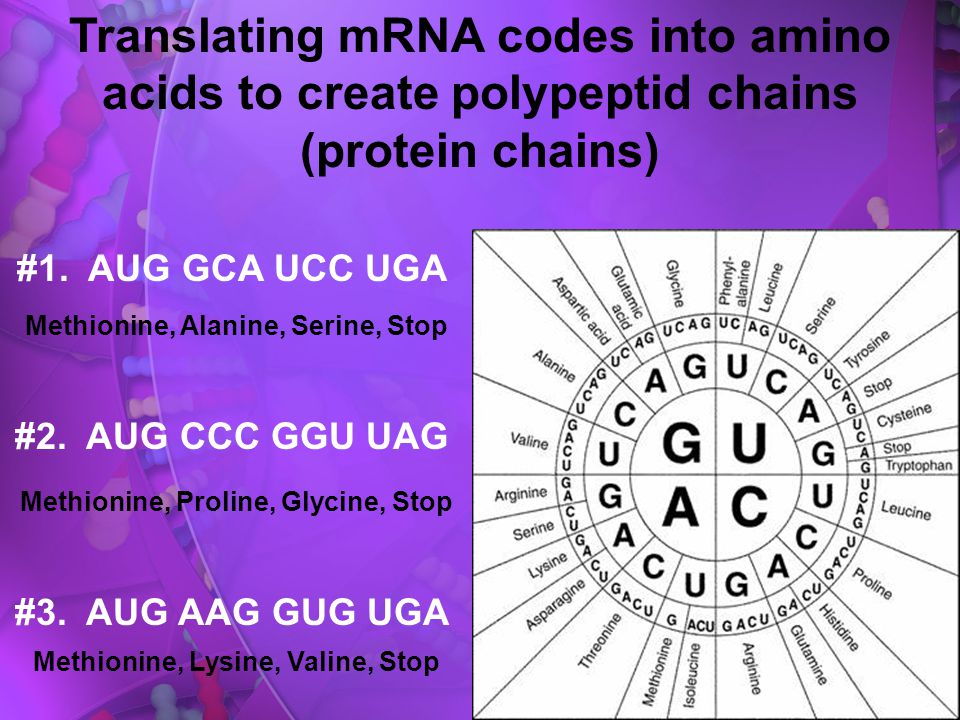 Translating mRNA codes into amino acids to create polypeptid chains (protein chains)