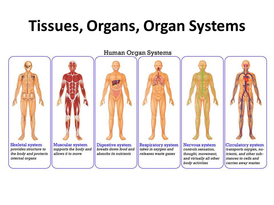Organ System Coursework Help Ocessaywtdfourfoods
