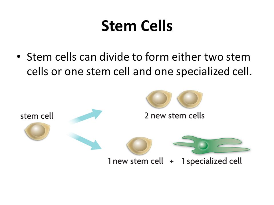 Stem Cells Stem cells can divide to form either two stem cells or one stem cell and one specialized cell.