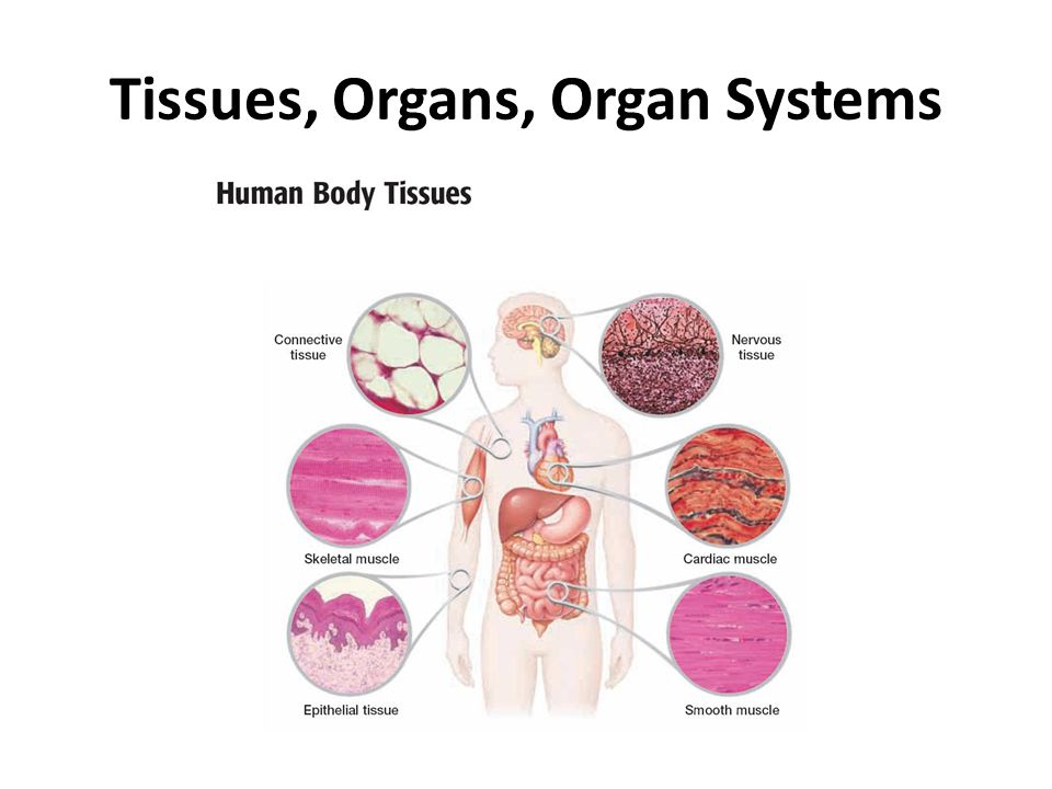 Tissues, Organs, Organ Systems